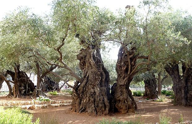 <p> Una imagen del Huerto de los Olivos en Jerusal&eacute;n.</p> ,