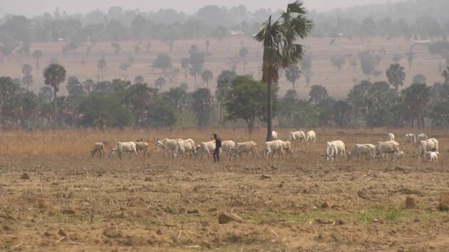 Un pastor fulani pasea libremente con su ganado en el sur del estado de Kaduna / Foto: Puertas Abiertas.,