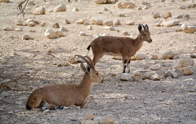 La cabra montés que todavía hoy puede verse fácilmente en las montañas desérticas de Israel es el íbice de Nubia, que pertenece a la subespecie Capra ibex nubiana. / Antonio Cruz,