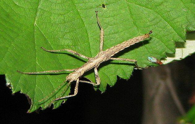 Insecto Palo. / Wikimedia Commons.,