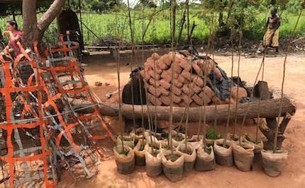 Árboles moringa./ Fb Cooperando con Burkina Faso