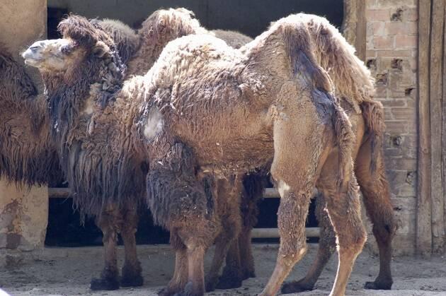 El verdadero camello, como estos ejemplares del Zoo de Barcelona, poseen dos grandes jorobas en lugar de una y viven en terrenos fríos del Asia Central. No son los que habitualmente se mencionan en la Biblia. Se cree que también fueron domesticados por el hombre hace más de 4000 años. / Foto: Antonio Cruz