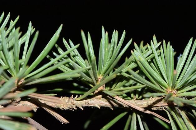 Las hojas del cedro del Líbano (Cedrus libani) crecen juntas, sobre brotes del segundo año, en ramilletes constituidos por 10 a 20 hojas de hasta 3 cm de longitud. / Foto: Antonio Cruz,