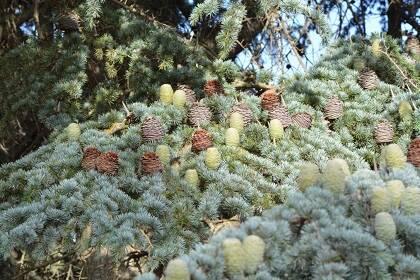 Las piñas o conos del cedro del Líbano tienen forma de barril, miden unos 8 cm, son de color verde gris al principio y después, al madurar, se tornan parduzcas. / Foto: Antonio Cruz
