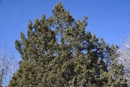 La sabina negral (Juniperus phoenicea), como la de la imagen, tenía un porte arbóreo y su madera era quemada en ciertas ceremonias religiosas de purificación. / Foto: Antonio Cruz