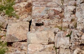 La cigüeña negra (Ciconia nigra) es mucho más tímida que su pariente blanca. Para nidificar prefiere lugares abruptos y alejados de los humanos.