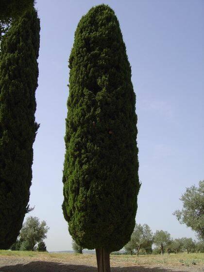 Los cipreses son árboles que crecen rectos y empinados, hasta unos 25, 30 o más metros de altura.  / Antonio Cruz.