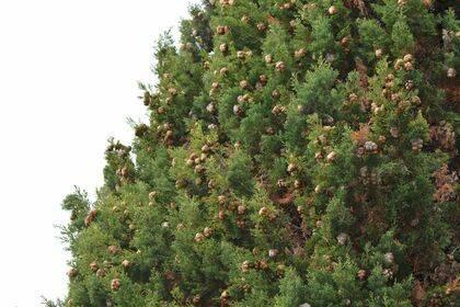 Ciprés con numerosos conos marrones, que son las flores femeninas de la planta, de donde saldrán las semillas de borde alados.