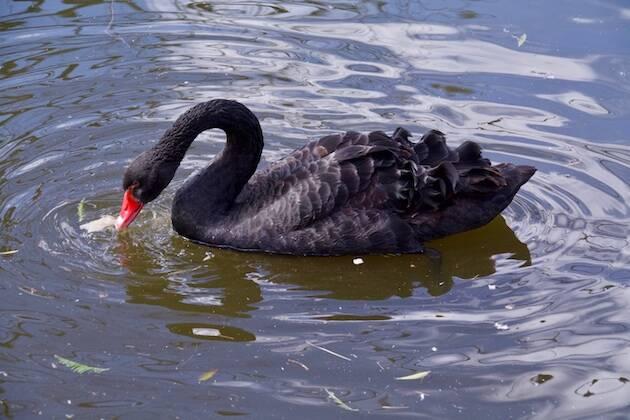 De las varias especies conocidas de cisnes, una de las más raras -aunque emparentada con el cisne blanco vulgar- es el cisne negro de Australia (Cygnus atratus), como este ejemplar del Zoológico de Jerusalén. / Antonio Cruz,