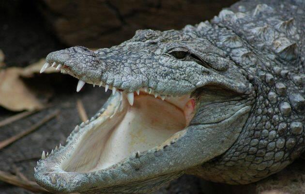 Los dientes del cocodrilo no sirven para masticar, ya que no poseen molares, sino únicamente para agarrar a las presas y girar sobre el eje de su cuerpo hasta conseguir arrancar trozos de carne.,