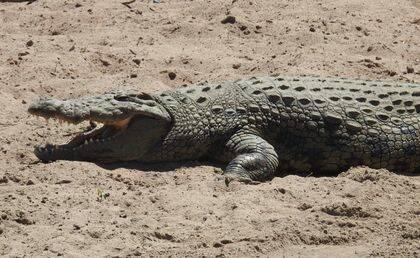 Los cocodrilos, cuando permanecen mucho rato al sol, abren la boca para aumentar la transpiración y contrarrestar así el exceso de calor corporal. /  Ana Romero).