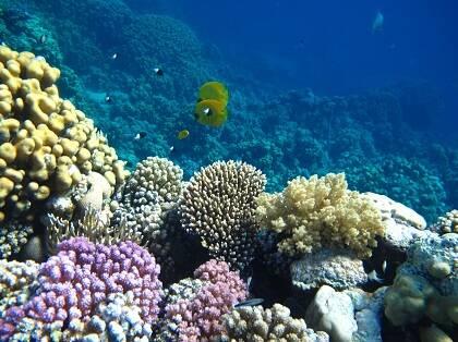 En el golfo de Eilat (Israel), cuyas aguas comunican con el mar Rojo, existen multitud de especies coralinas que son las mejor conservadas del mundo. Estudios recientes así lo demuestran y sugieren la posibilidad de convertir este enclave en un reservorio biológico para repoblar regiones donde los corales han muerto o desaparecido.[1] / Antonio Cruz