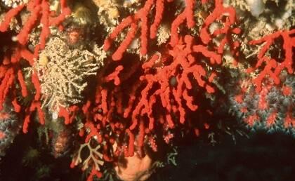 El coral rojo del Mediterráneo (Corallium rubrum) pertenece a la familia Coralliidae y suele prosperar en oquedades y cavidades submarinas a una profundidad comprendida entre los 4 y los 200 metros. / Antonio Cruz