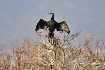Las plumas de las alas de los cormoranes están poco impermeabilizadas y se humedecen más que las de las otras veces acuáticas, por lo que deben exponerse más tiempo al sol para secarse.