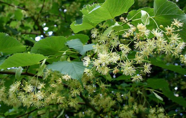 La flor del árbol tilia insularis. / Jean-Pol Grandmont, Wikimedia Commons,
