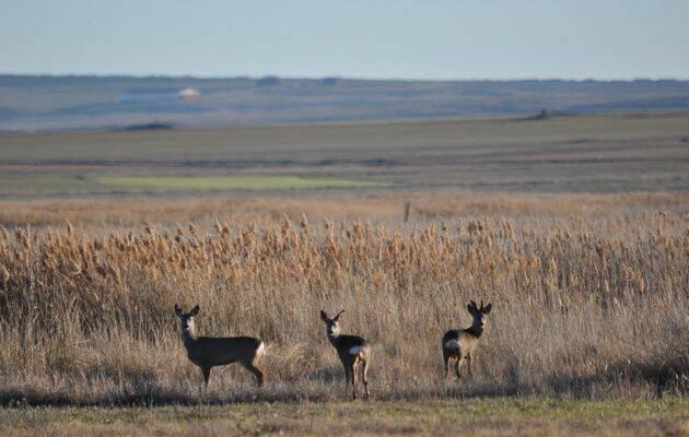 Tres corzos (un macho y dos hembras) observan atentamente al fotógrafo antes de introducirse velozmente en la espesura.,