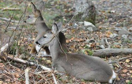 Dos ejemplares hembra de corzo descansando en el interior del bosque.