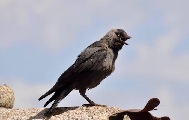La grajilla occidental (Corvus monedula), presente en Tierra Santa, presenta la parte trasera de la cabeza de color grisáceo y suele posarse sobre acantilados, árboles, monumentos y edificios viejos.,
