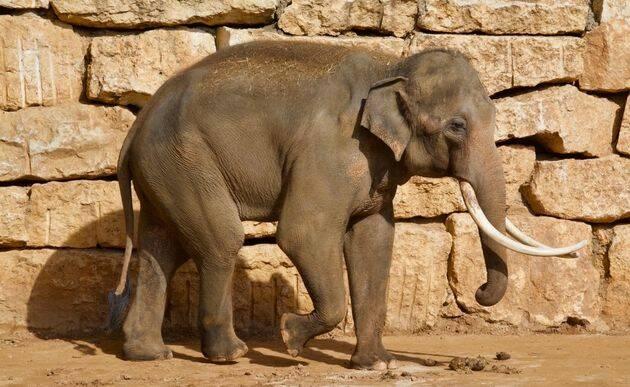 Elefante asiático en el Zoo de Jerusalén. Son más pequeños que los africanos y tienen también las orejas de menor tamaño. Estos animales eran los más empleados en las guerras de la antigüedad.  / Antonio Cruz.,