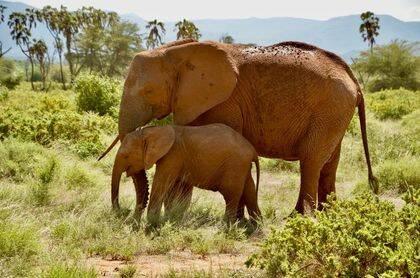 Elefante africano hembra (Loxodonta africana) con su cría.  / Ana Romero.