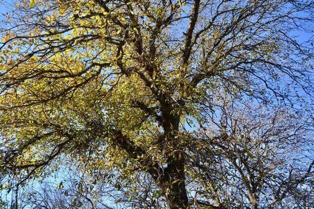 Roble del Tabor (Quercus ithaburensis) fotografiado en el Jardín Botánico de la Universidad Hebrea de Jerusalén. ,