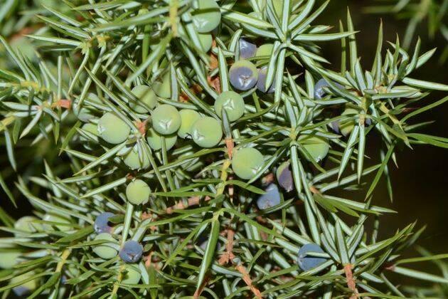 Enebro común con sus típicas hojas agudas y punzantes, así como con los frutos redondeados que se emplean en la elaboración de la ginebra.,