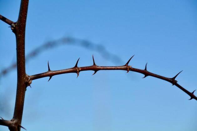 La espina santa es un arbusto, o árbol pequeño caducifolio, oriundo del Mediterráneo oriental pero extendido posteriormente en muchos otros países. ,