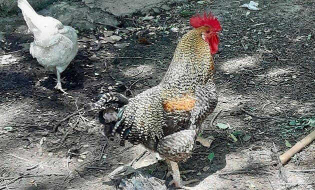 Existen cientos de razas de gallos por todo el mundo, como esta variedad Plymouth Rock creada en 1860 en Estados Unidos, pero todas descienden del gallo bankiva de las selvas de Tailandia y Malasia. ,