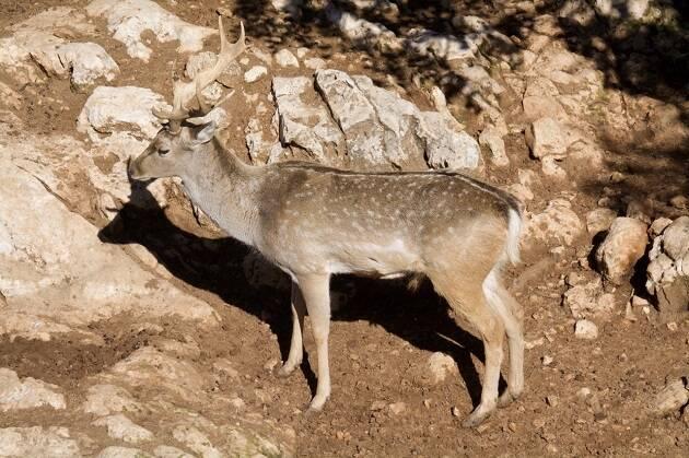 Los gamos persas (Dama mesopotámica) viven en bosques espesos y poseen un tamaño mayor que los gamos europeos ya que pueden alcanzar los 95 kg de peso. Imagen fue tomada en el zoo de Jerusalén. / Antonio Cruz,