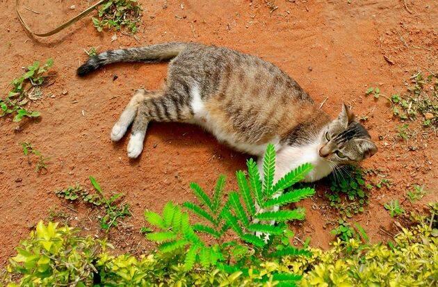 El gato doméstico es un mamífero carnívoro de la familia Felidae, domesticado por la convivencia con el ser humano. / Antonio Cruz.,