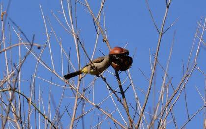 Algunas aves, como este bubul árabe propio de Oriente Próximo y fotografiado en Banias (Israel), consumen las semillas de las granadas, contribuyendo así a su conveniente diseminación en el medio. / Antonio Cruz.