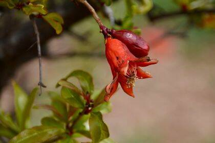 La flor del granado tiene rojo el cáliz que es abierto y terminado en una estrella de 5 a 7 puntas. Los pétalos son del mismo color pero redondeados. /  Antonio Cruz.