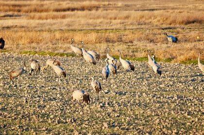 A principios de otoño y de invierno, durante sus migraciones, pueden verse bandadas de grullas buscando semillas, insectos y otros pequeños animales en los campos de Israel. / Antonio Cruz.