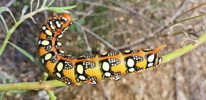"""Equivocadamente se llama """"gusano"""" a las orugas de insectos lepidópteros que posteriormente, después de la metamorfosis, se convertirán en mariposas."""
